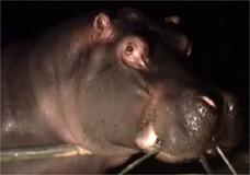 Hipop�tamos s�o bichos noturnos que podem ser vistos durante o passeio do z�o de SP