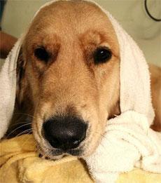 Seque bem o cachorro com uma toalha e use jato morno ou frio do secador