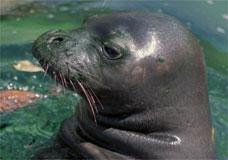 Foto mostra foca-monge do Havaí, que corre risco de ser extinta como a foca-monge caribenha