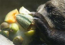 Urso come frutas congeladas em zôo de Roma, na Itália