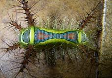A lagarta colorida é um dos bichos encontrados