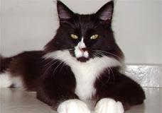Gatos da raça têm porte grande e musculoso