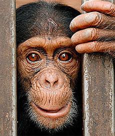 Chipanzé é um dos animais retratados na mostra